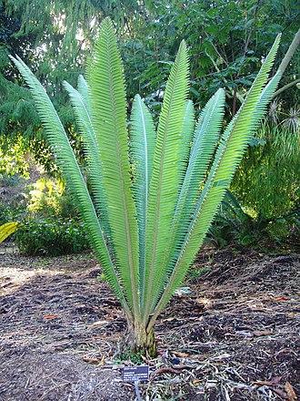 Zamiaceae - Image: Dioon mejae