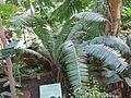 Dioon spinulosum (Jardin des Plantes de Paris).jpg