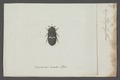 Diphyllus - Print - Iconographia Zoologica - Special Collections University of Amsterdam - UBAINV0274 018 06 0019.tif