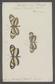 Dismorphia - Print - Iconographia Zoologica - Special Collections University of Amsterdam - UBAINV0274 051 03 0002.tif