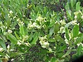 Dodonaea viscosa Jacq. (AM AK330062-1).jpg