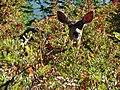 Doe deer eating Mountain Ash berries near Guide House. Mid August 2015. (209e1e37ca4a4788b969735094309d54).JPG