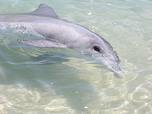 Monkey Mia - One of Monkey Mia's famous dolphins