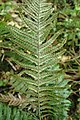 Doodia australis kz6.jpg