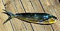 Dorado Golden Fish (121911221).jpeg
