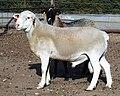 Dorper white ram.jpg