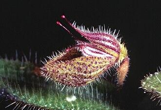 Dresslerella pilosissima - Image: Dresslerella pilosissima