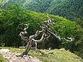 Drieňok, suchý strom.jpg