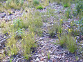 Drosophyllum lusitanicum Plantas 2011-5-22 SierraMadrona.jpg