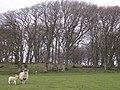 Drumheldric Beech Plantation with Posing Sheep - geograph.org.uk - 162082.jpg