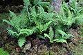 Dryopteris affinis-IMG 9805.JPG
