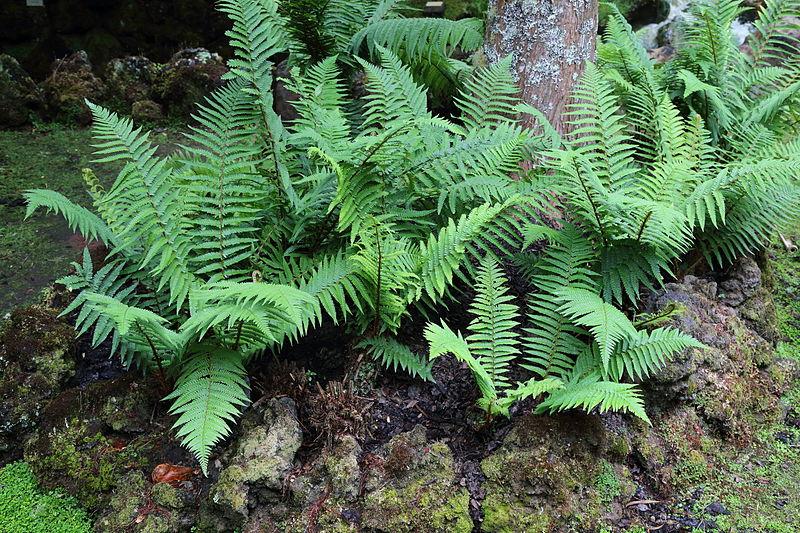 File:Dryopteris affinis-IMG 9805.JPG