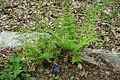 Dryopteris carthusiana - Jenkins Arboretum - DSC00712.JPG