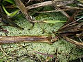 Duckweed - Family lemnaceae (5760617740).jpg