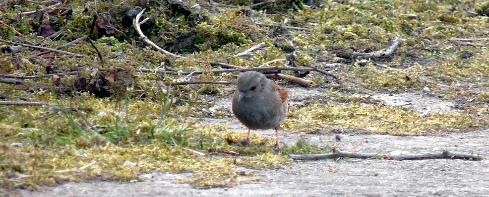 Dunnock at Cycling and Dog Path around perimeter of Newport Wetlands RSPB Reserve