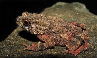 Duttaphrynus beddomii - Image: Duttaphrynus beddomii lateral view