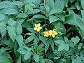 Dzeltenais vizbulis (Anemone ranunculoides L.) Vecdorvalka krastos, Dundagas pagasts, Dundagas novads, Latvia - panoramio (1).jpg