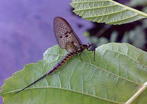 The Holy Family with the Dragonfly - The common European mayfly Ephemera vulgata