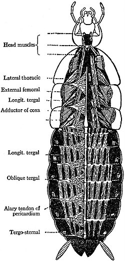 EB1911 Hexapoda - Dorsal Muscles, Heart and Pericardial Tendons of Cockroach.jpg