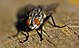 EL FEO - THE UGLY ( Mosca - Fly - Diptera) (2595715669).jpg