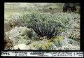ETH-BIB-San Bartolomé, Gran Canaria, Kleinia, neriifolia (Composite)-Dia 247-07448.tif