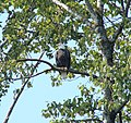 Eagle, Willamette River, OR, 2006 (6323209445).jpg