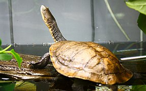 Eastern Snake-necked Turtle (3365777609).jpg