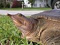 head of a softshell turtle