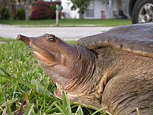 Eastern Spiny Softshell Turtle.jpg