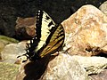 Eastern Tiger Swallowtail (28181575180).jpg