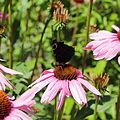 Echinacea purpurea-IMG 5675.jpg