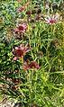 Echinacea tennesseensis KZ2.jpg