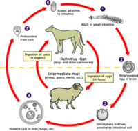 EchinococcosisEchinococcus life cycle (click to enlarge)