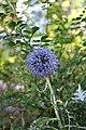 Echinops ritro (1).jpg