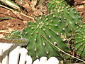 Echinopsis oxygona 02.jpg