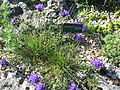 Edraianthus tenuifolius (Jardin des Plantes de Paris).jpg