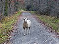 Einsames Schaf im Süden von Dagersheim - panoramio.jpg