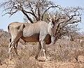 Eland (Taurotragus oryx) male ... (50221599746).jpg