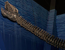 Small skull on a long neck of a mounted, gray skeleton, on a blue background