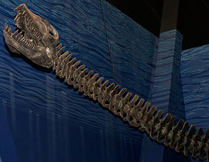 Elasmosaurus - Reconstructed skull and neck, North American Museum of Ancient Life