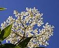 Elderflower (4721700110).jpg