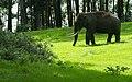 Elephant -Munnar.jpg