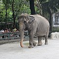 Elephant mali at manila zoo.jpg