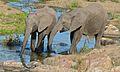 Elephants (Loxodonta africana) (6011608513).jpg