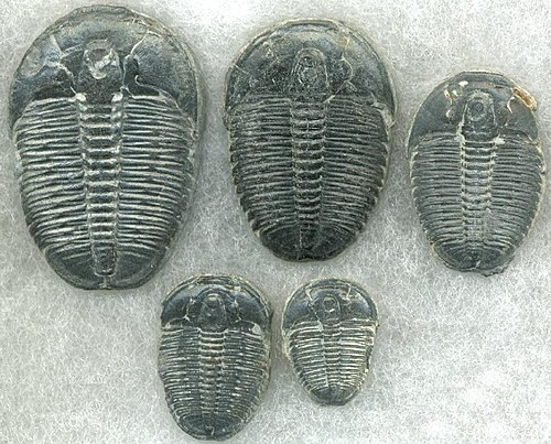 C-14 dating fossiileja, toimituksen poiminnat.