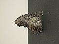 Elymnias nesaea (39312780520).jpg