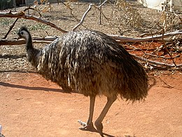 Emu showing feet