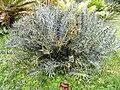Encephalartos horridus - Villa Thuret - DSC04830.JPG