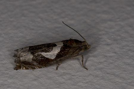 Epiblema foenella, Lodz(Poland)03(js).jpg