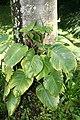 Epipremnum aureum 3zz.jpg